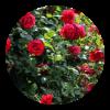kitajska-vrtnica